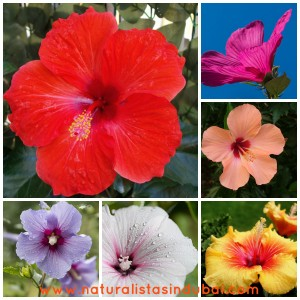 hibiscus for hair growth and strengthening hair