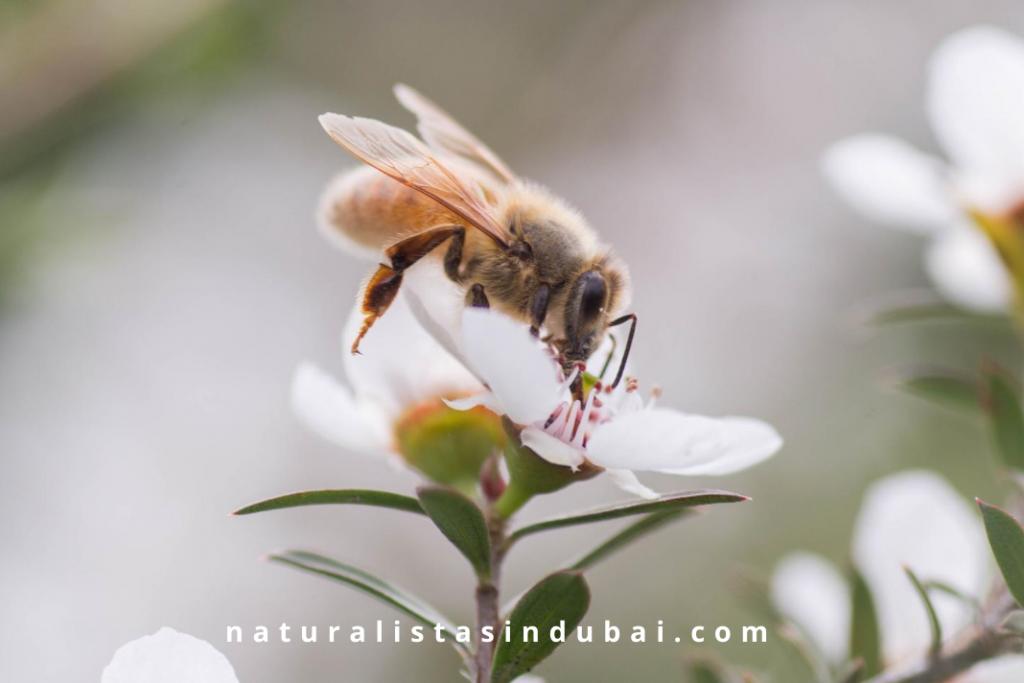 bee on Manuka flower